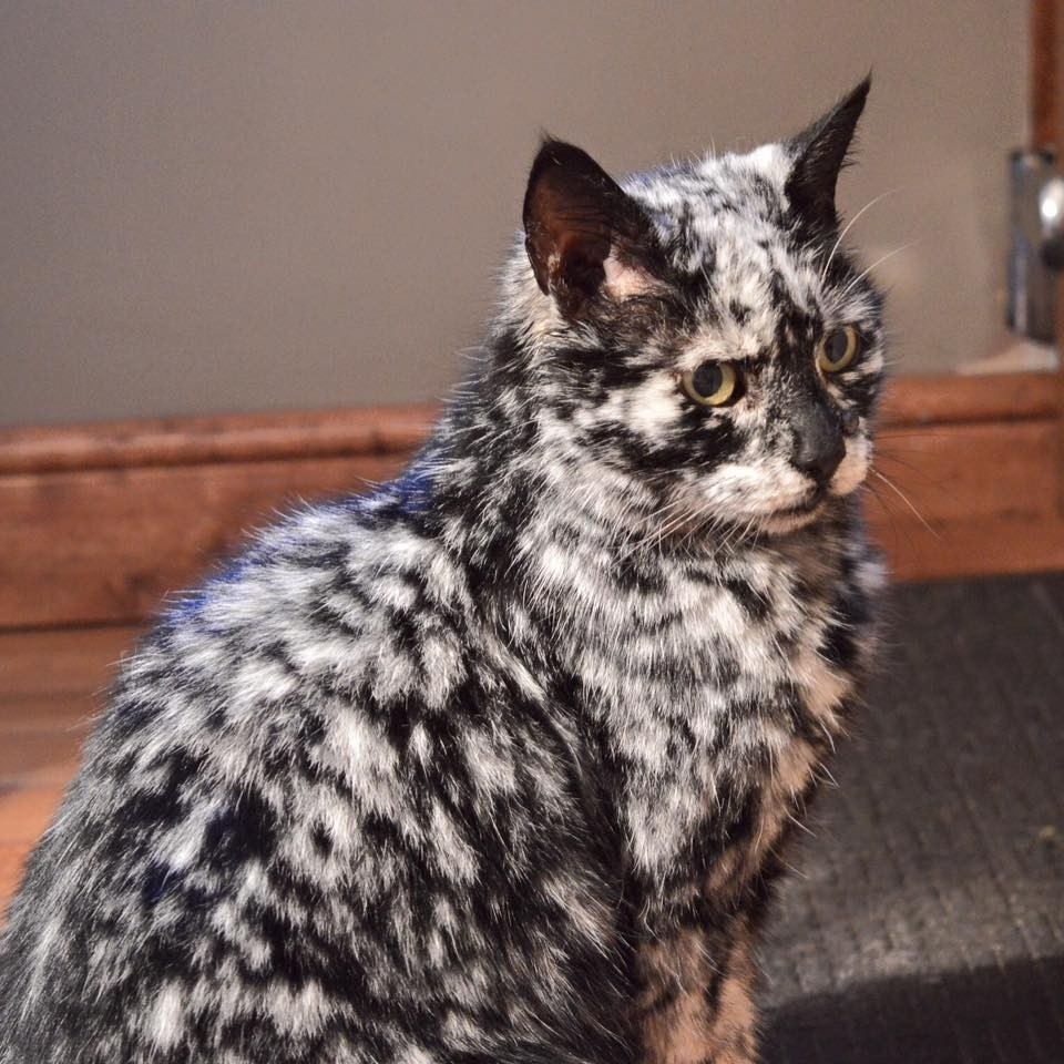 Scrappy Born A Black Cat Now Turning White Due To Vitiligo Love Meow - Meet scrappy 19 year old black cat grew unique marble fur due rare skin condition
