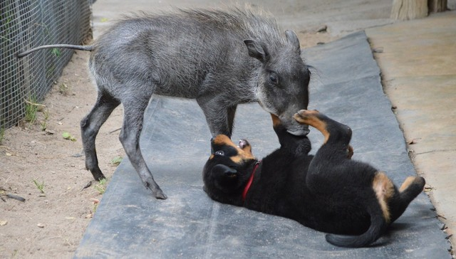 Orphaned Warthog Becomes Best Friends With Rottweiler Puppy