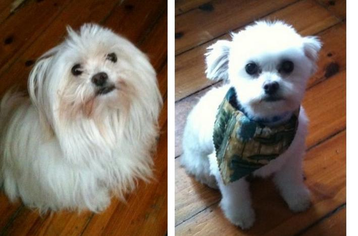 Awesome 15 Dogs Before And After Their Spring Haircuts Short Hairstyles For Black Women Fulllsitofus