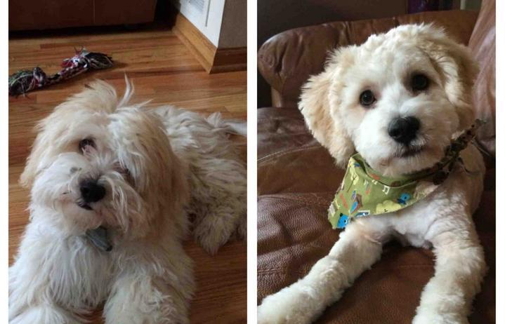 Awesome 15 Dogs Before And After Their Spring Haircuts Short Hairstyles Gunalazisus