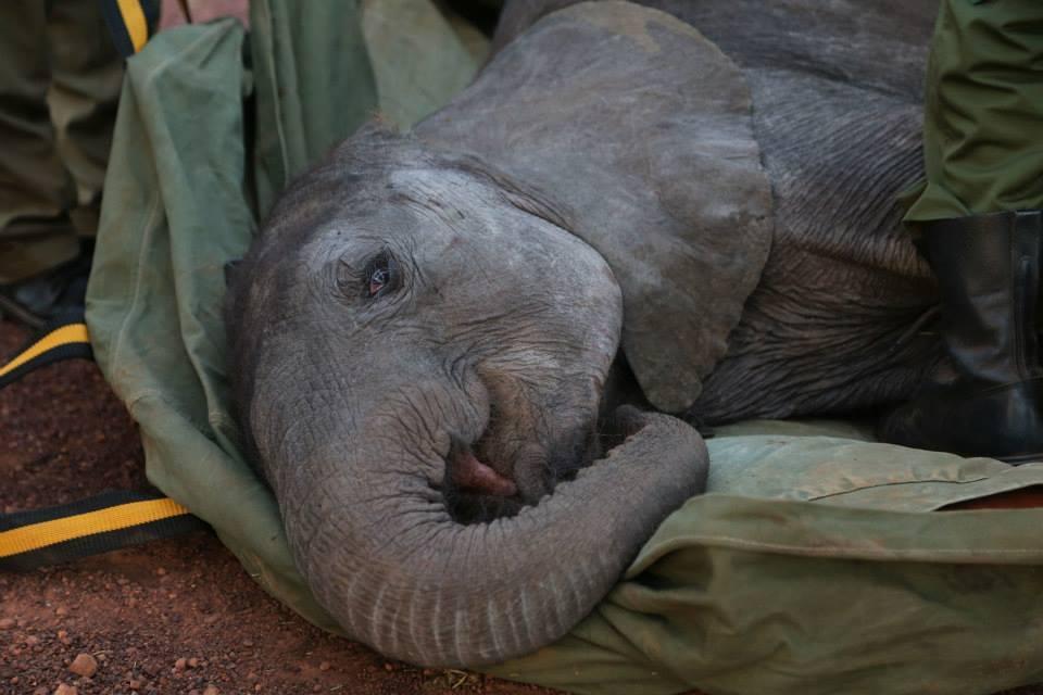 Baby Elephant Injured ...