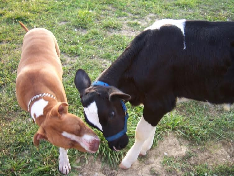 Cow and Pit Bull