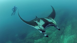 Giant Mantas Migrate Shorter Distances Than Thought