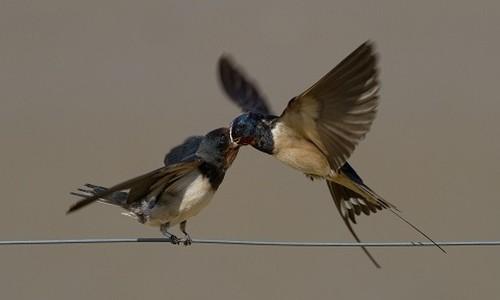 Barn Swallow Feeding Young Photo Credit Radboud University Nijmegen