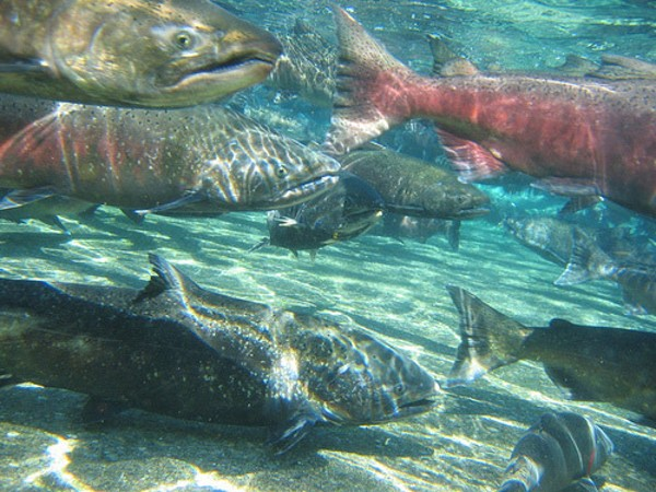 California bans genetically engineered salmon ecowatch for Salmon fishing northern california