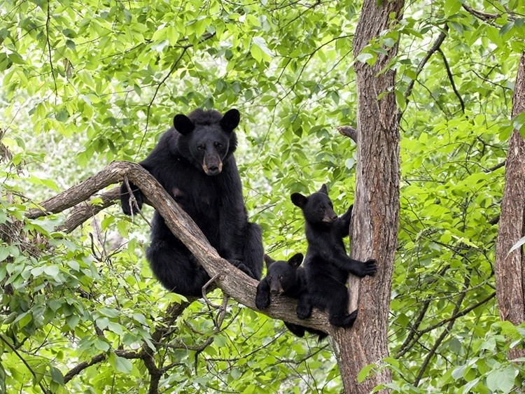 295 Bears Killed In Florida S First Black Bear Hunt In