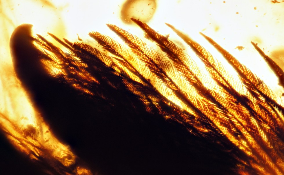 99-million-year-old wings found frozen in amber