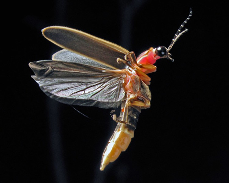 12 Fascinating Facts About Fireflies Ecowatch