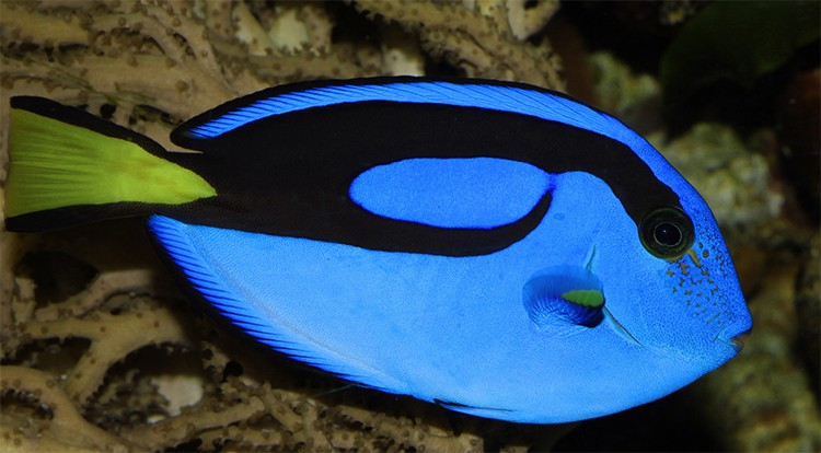 6 million tropical fish imported into u s each year are for Royal blue tang fish