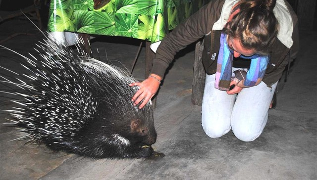 Wild Porcupine Returns To Visit Her Rescuers With The