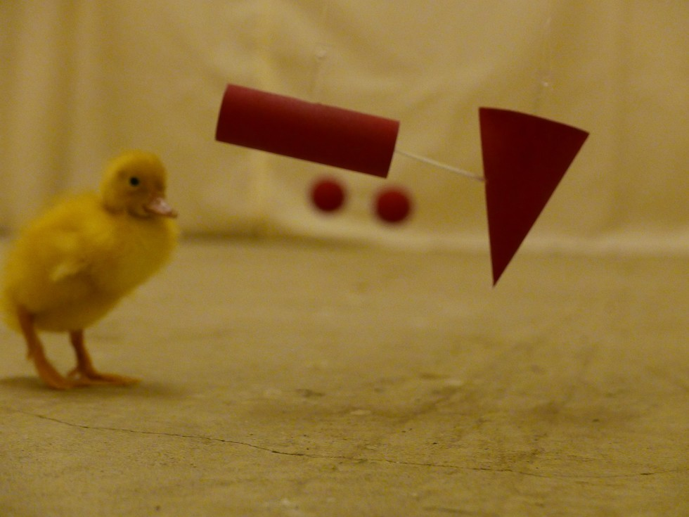 Quackers? Amazing study shows ducklings understand abstract concepts