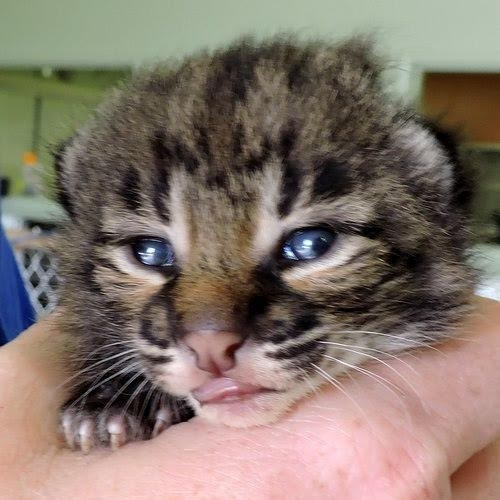 Baby Bobcat Says Goodbye To The House Cat Who Saved His Life