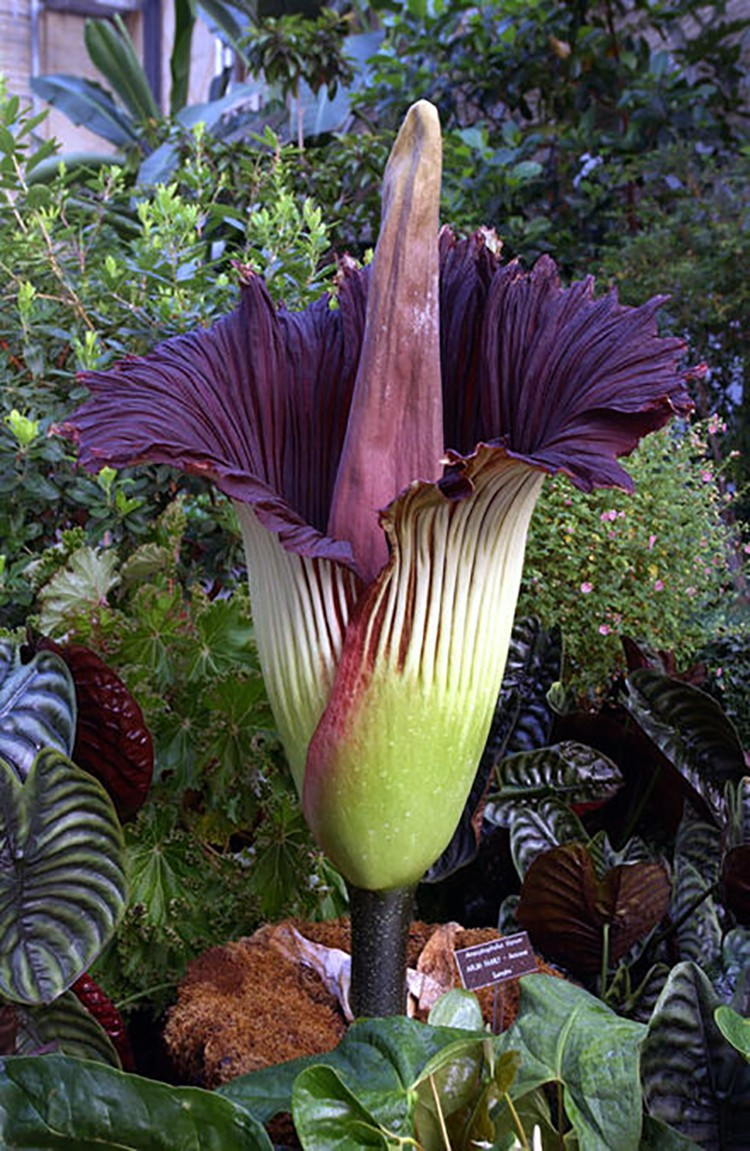Thousands watch as giant flower that smells like death blooms for share using facebook izmirmasajfo