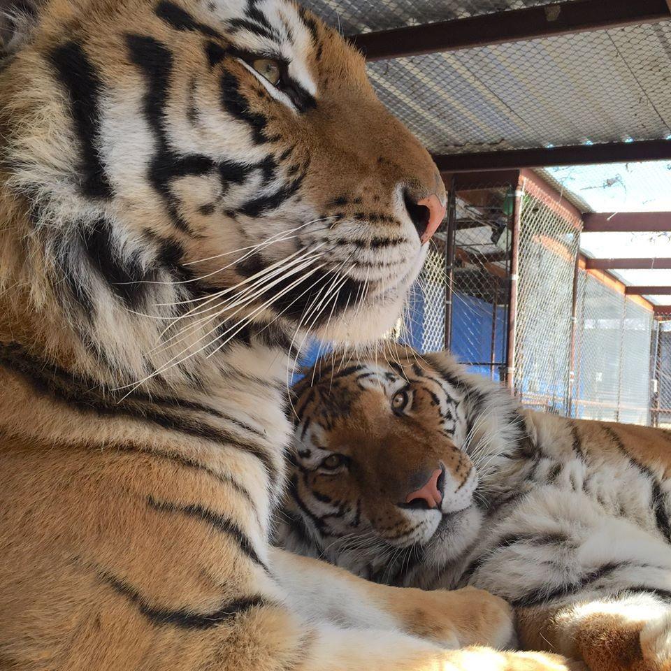 Картинки по запросу Больной цирковой тигренок