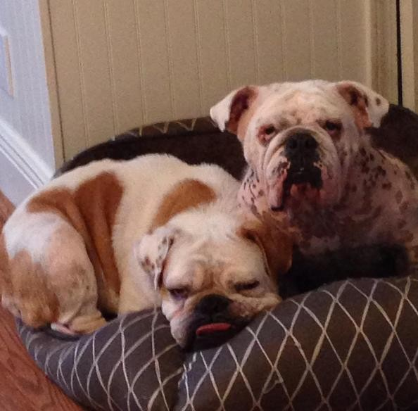 dallas bulldog rescue family overlooks dog s health issues to give her a second 5328