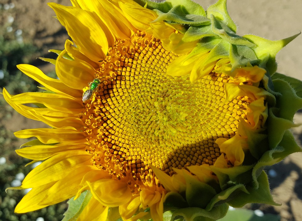 Mystery of why some sunflowers track the sun across skies solved