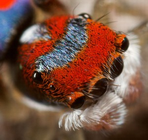 New Form of Color Discovered on Peacock Spider