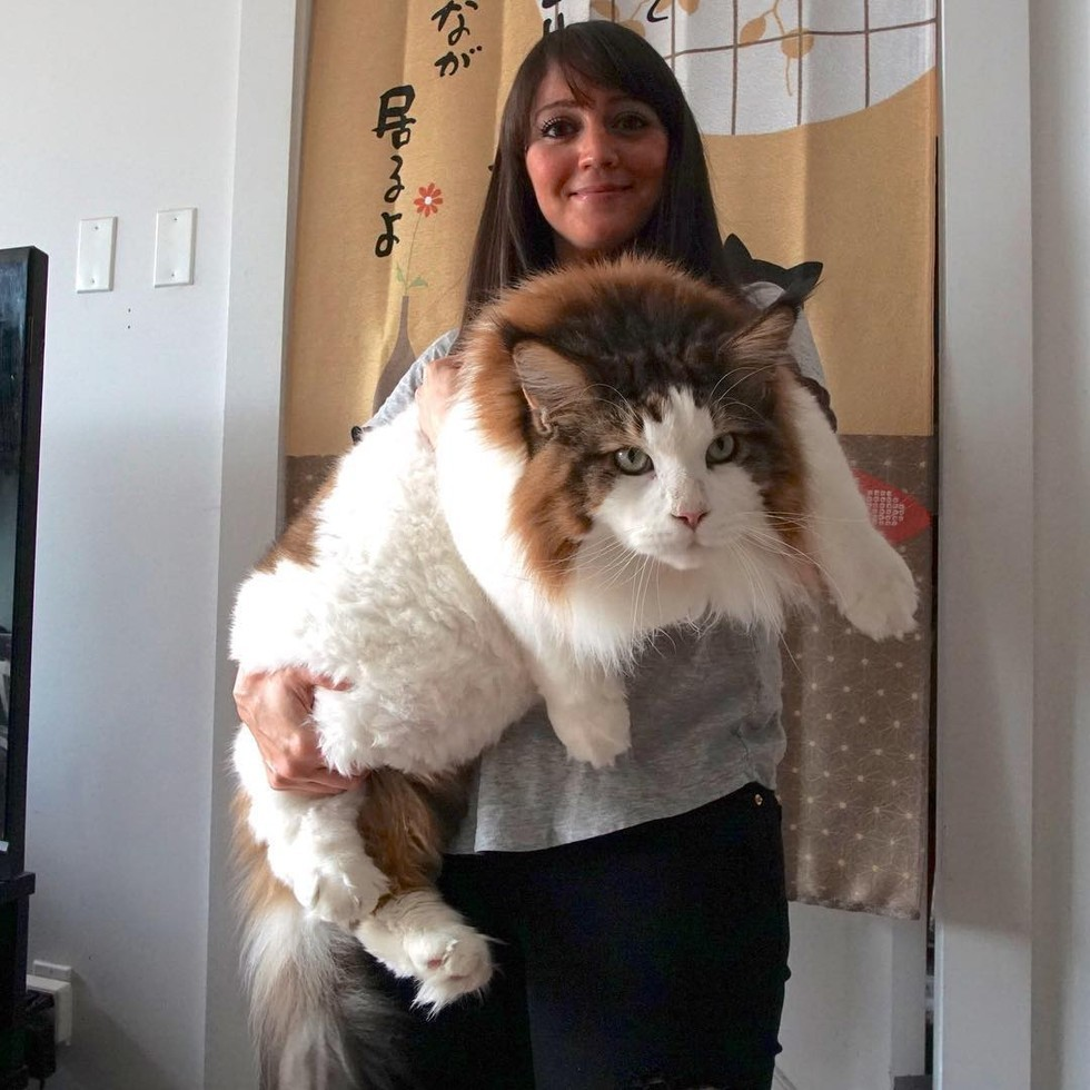 cat surprises his humans with his sheer size larger than most bobcats