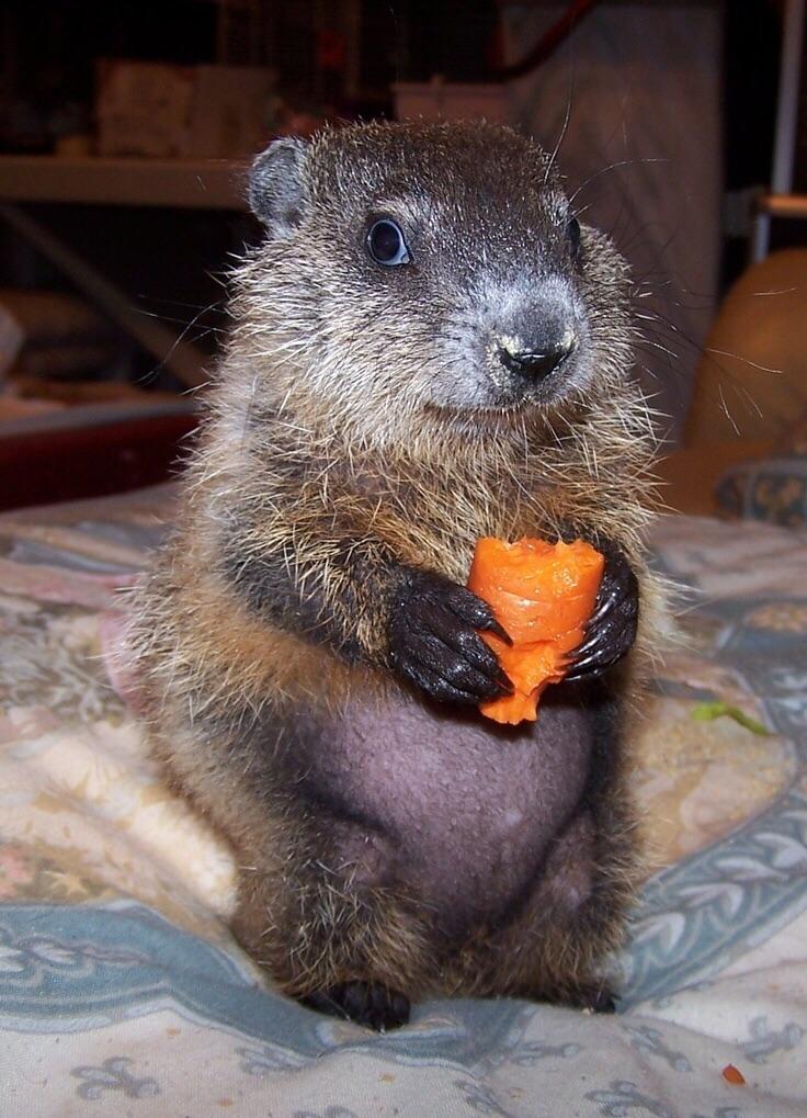 pui de marmota