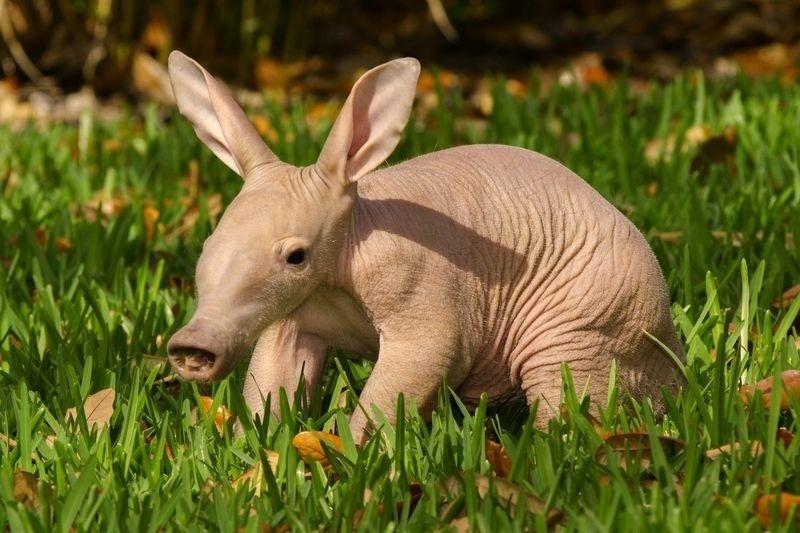 pui de aardvark
