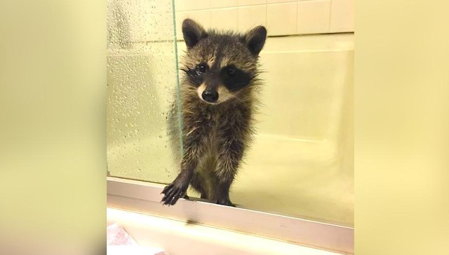 Baby Raccoon Who Fell From Tree Grows Up Happy And Spoiled