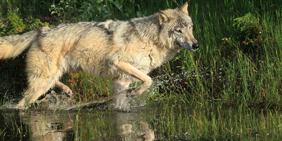 """the reintroduction of wolves in the wild Shadow mountain has 445 a memoir of wolves, a woman, and the wild"""" as i'm fascinated by the controversial reintroduction of wolves at yellowstone national."""