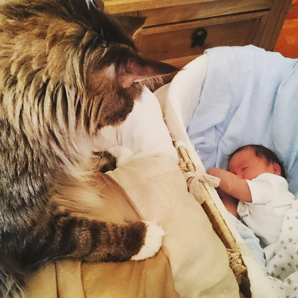 worlds biggest maine coon watches over his tiny brother - Biggest Cat In The World Guinness 2015