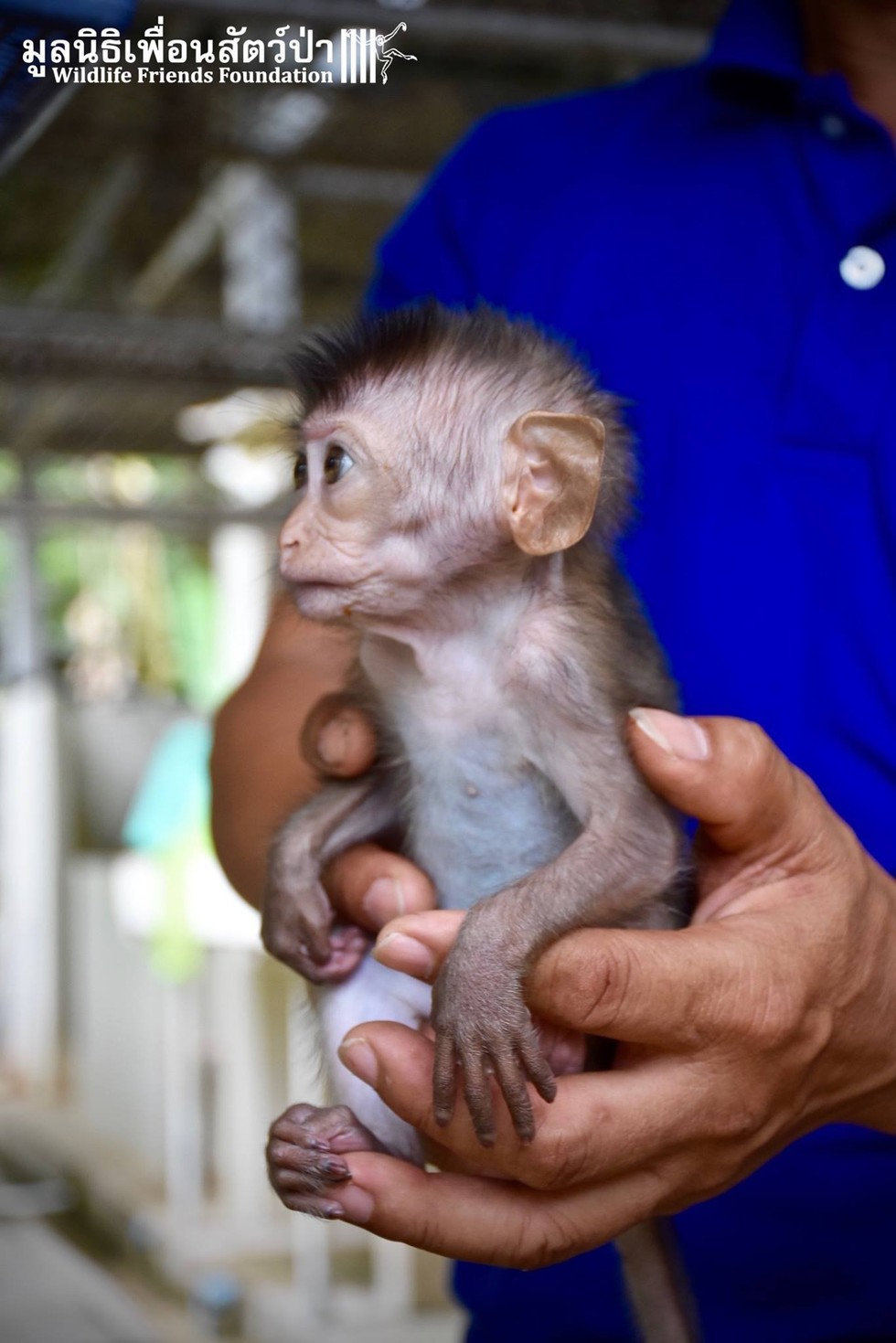 Tiny Baby Monkey Abandoned By Mom Gets His Very First Bottle
