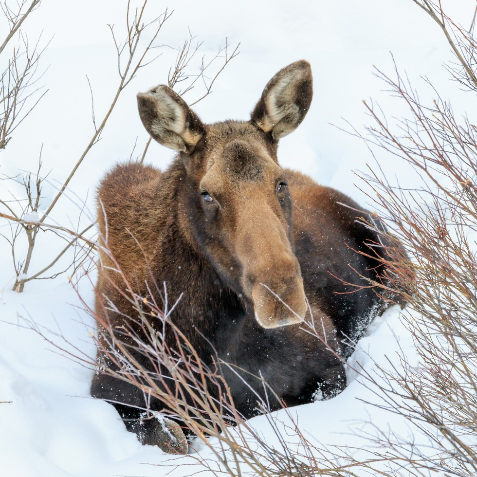north american moose struggling for survival