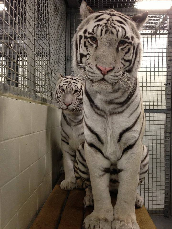 Image result for White Tigers Have Trapped In An Aquarium For Over A Decade