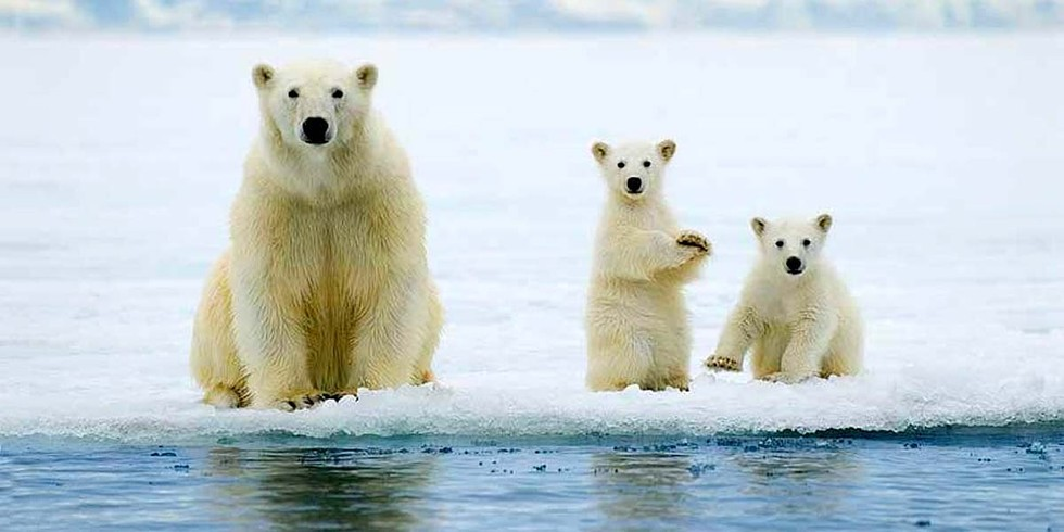 Image result for polar bears