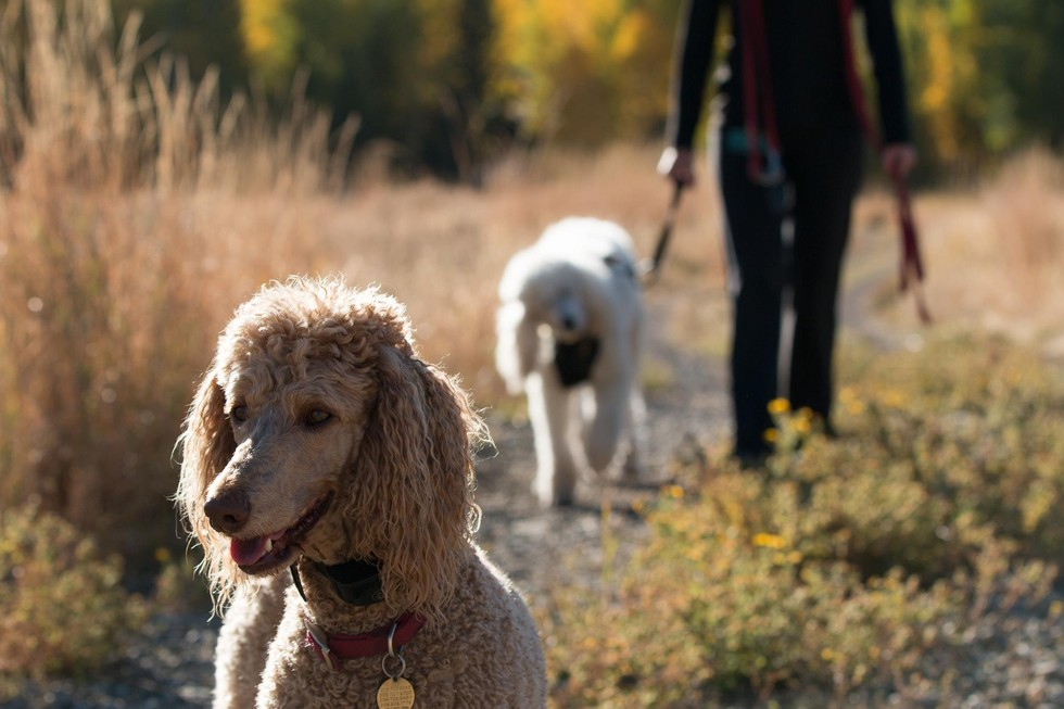 This Poodle Went Blind And Deaf But Her Sister Takes Her