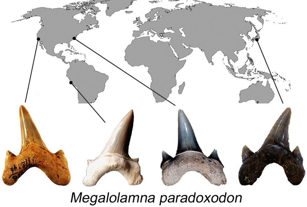 Megalolamna paradoxodon: Paleontologists Uncover New Species of Prehistoric Shark