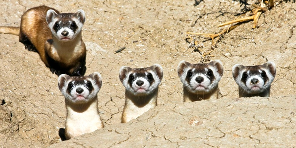 1. Black-Footed Ferret