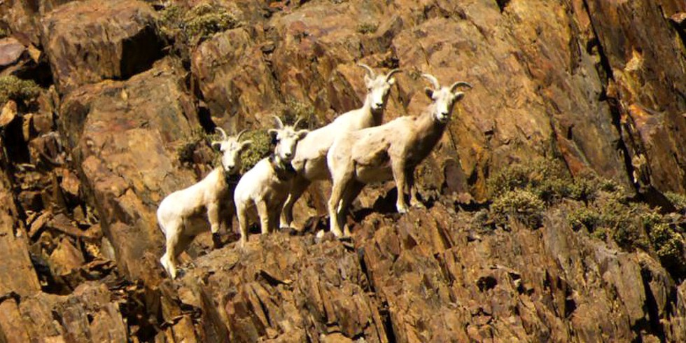 3. Sierra Nevada Bighorn Sheep
