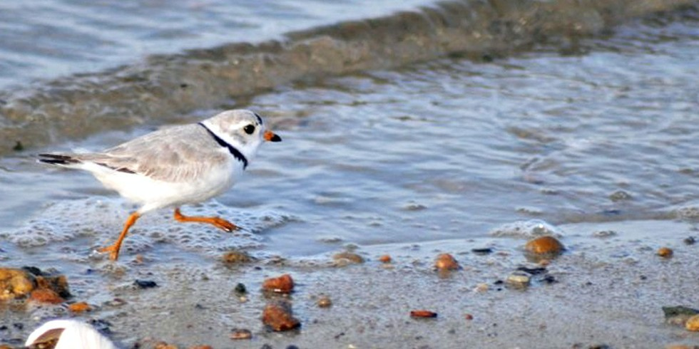 4. Piping Plover