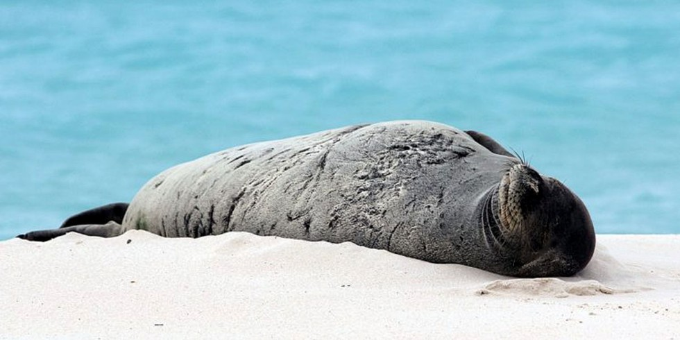 5. Hawaiian Monk Seals