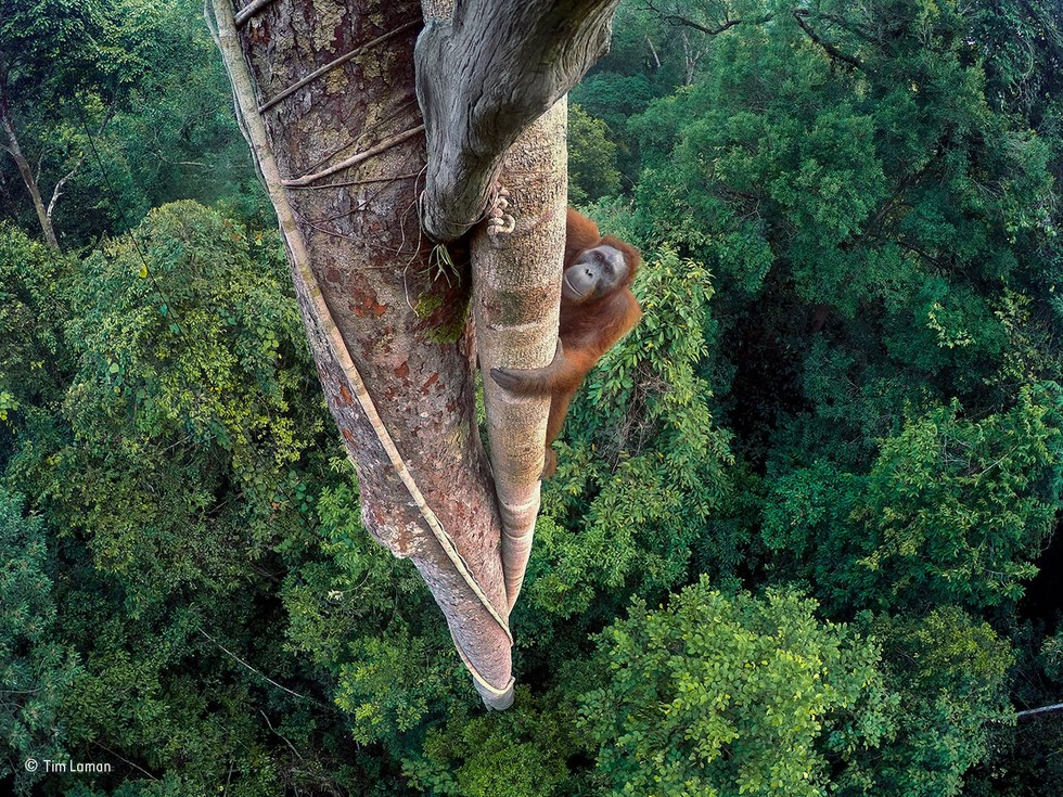 Image of Borneo orangutan wins prestigious wildlife award