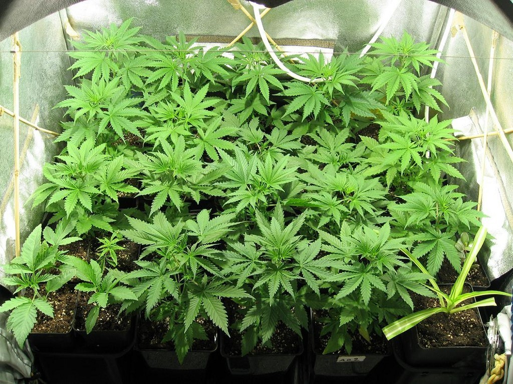 Watch: This Time Lapse Video Of Cannabis Growing Will Blow Your Mind