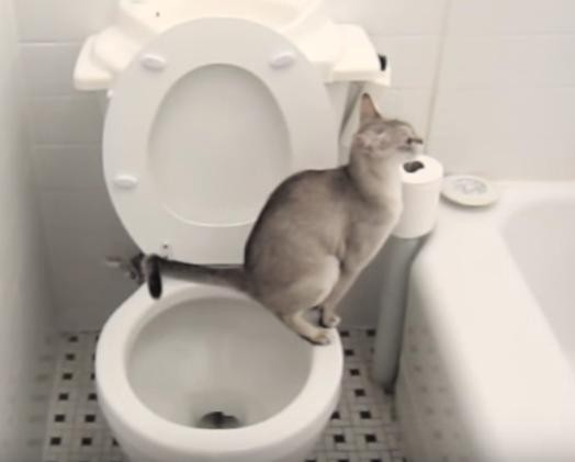 Teach Cat To Use Toilet Youtube
