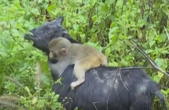 Baby Monkey Hitches Ride On Goat's Back