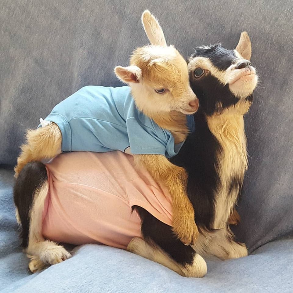 Rescue Goat With Anxiety Only Calms Down In Her Duck Costume