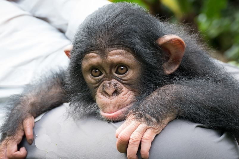 Baby Chimp Makes New Friends While He Waits To Reunite ...