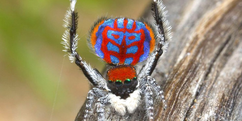 2. Thirteen New Dancing Peacock Spiders (Mongabay, by Shreya Dasgupta, Mike Gaworecki)