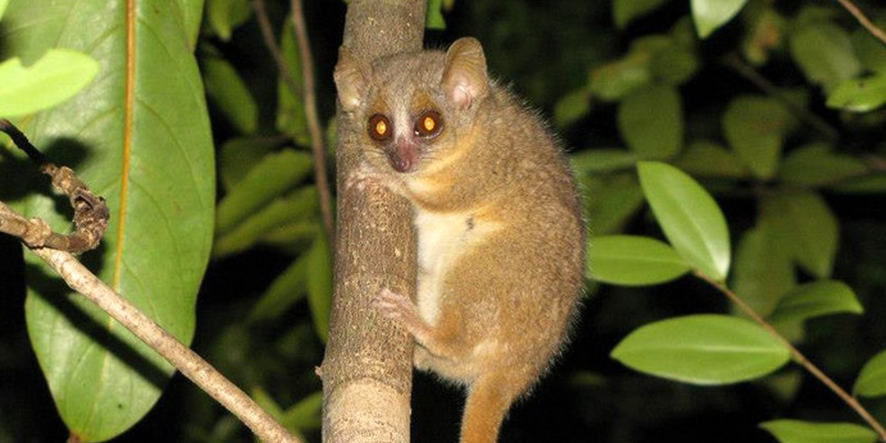 4. Three New Species of Mouse Lemurs (Mongabay, by Mike Gaworecki)