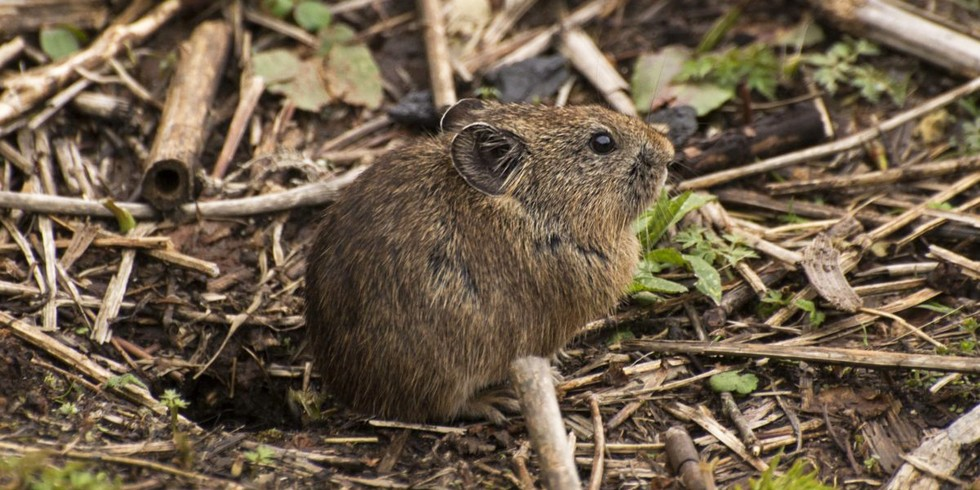 7. Rabbit-Like Pika (Mongabay, by Shreya Dasgupta)