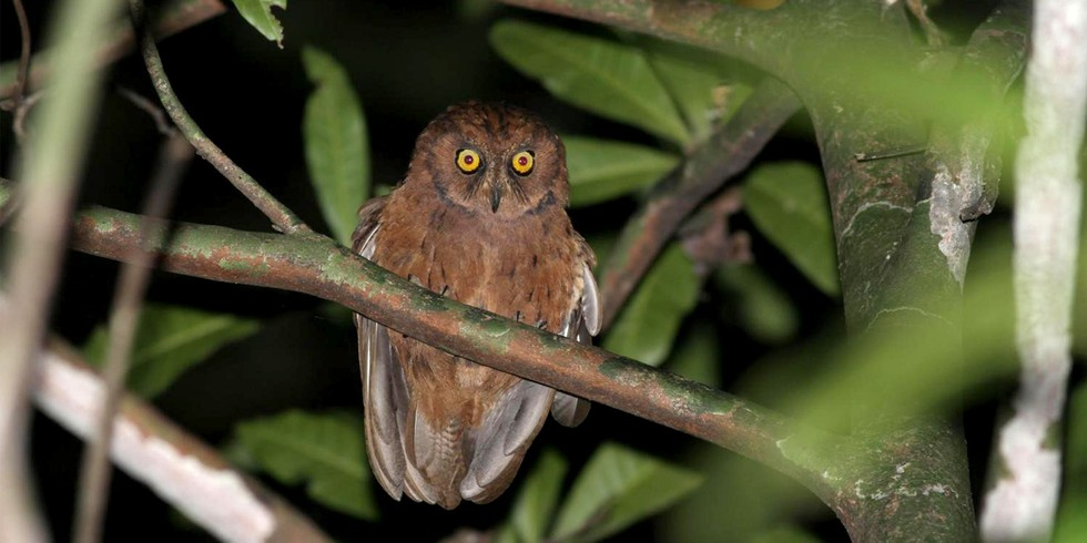 12. New Scops Owl (Mongabay, by Mike Gaworecki)