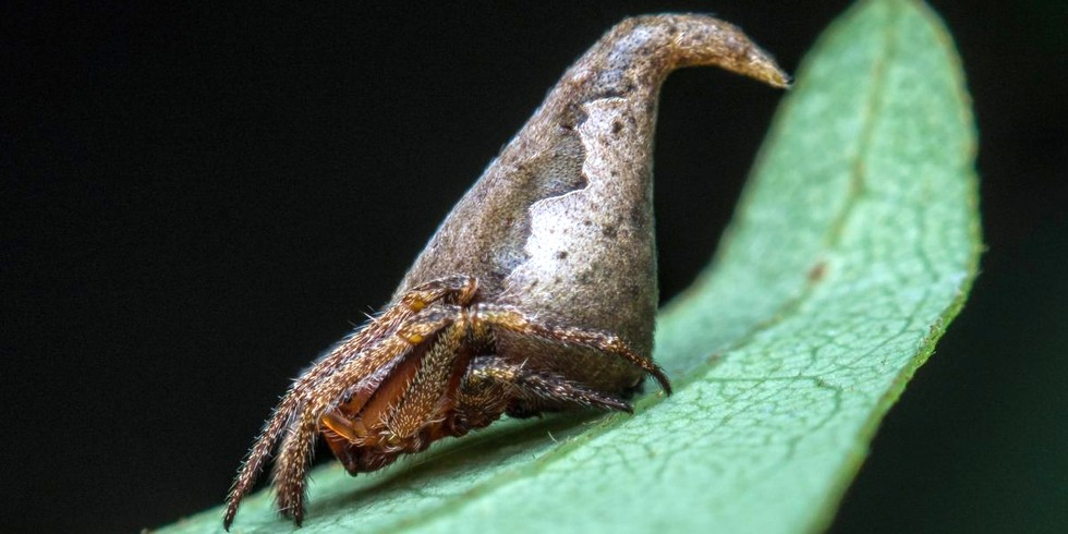 14. Spider That Looks like the 'Sorting Hat' from Harry Potter (Mongabay, by Shreya Dasgupta)