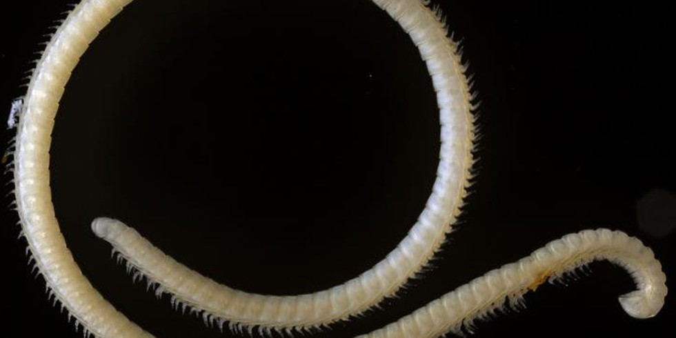 18. New Millipede Has 414 legs, 4 Penises (Mongabay, by Shreya Dasgupta)