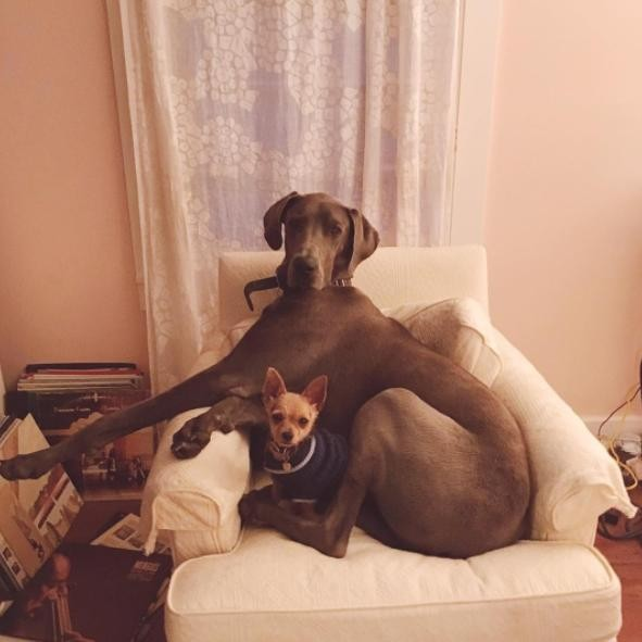 Giant Great Dane Is Best Friends With 5-Pound Dog